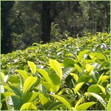 Tea Plantation Business